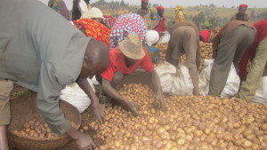 People collecting potatoes into baskets