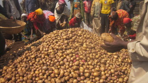 People bending down around a large pile of potatoes