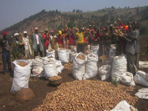 A large group of people celebrating a large harvest of potatoes