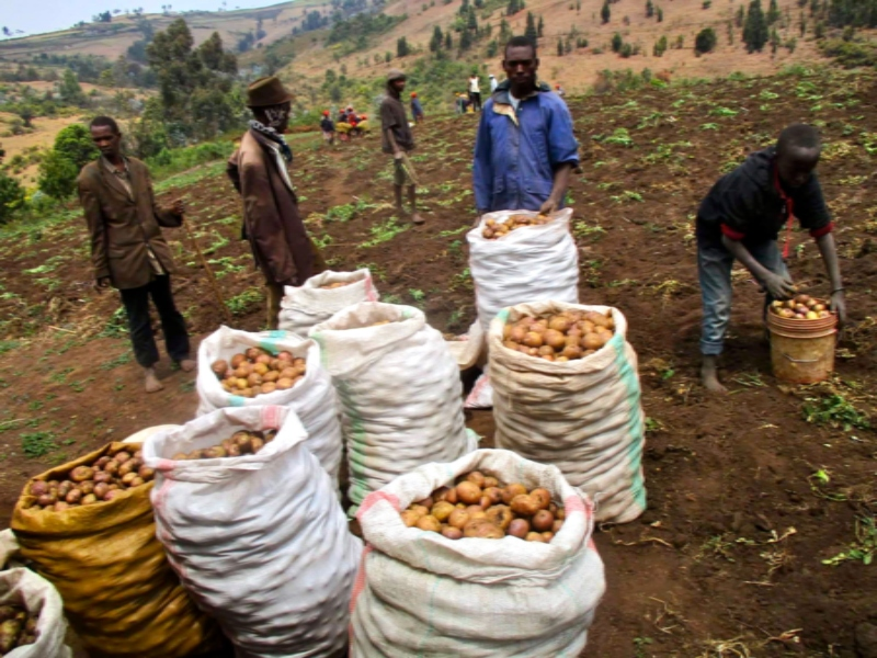 A group of people tending to a potato harvest with several bags of potatoes around them