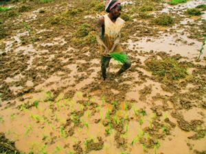 A man standing in mud harvesting