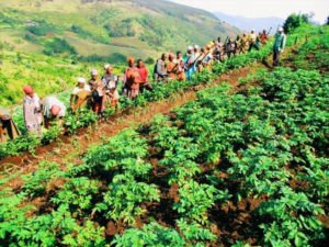 A large group of people lined up in a field, harvesting the crops