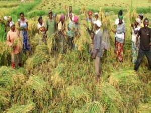 Several people standing in a field and harvesting